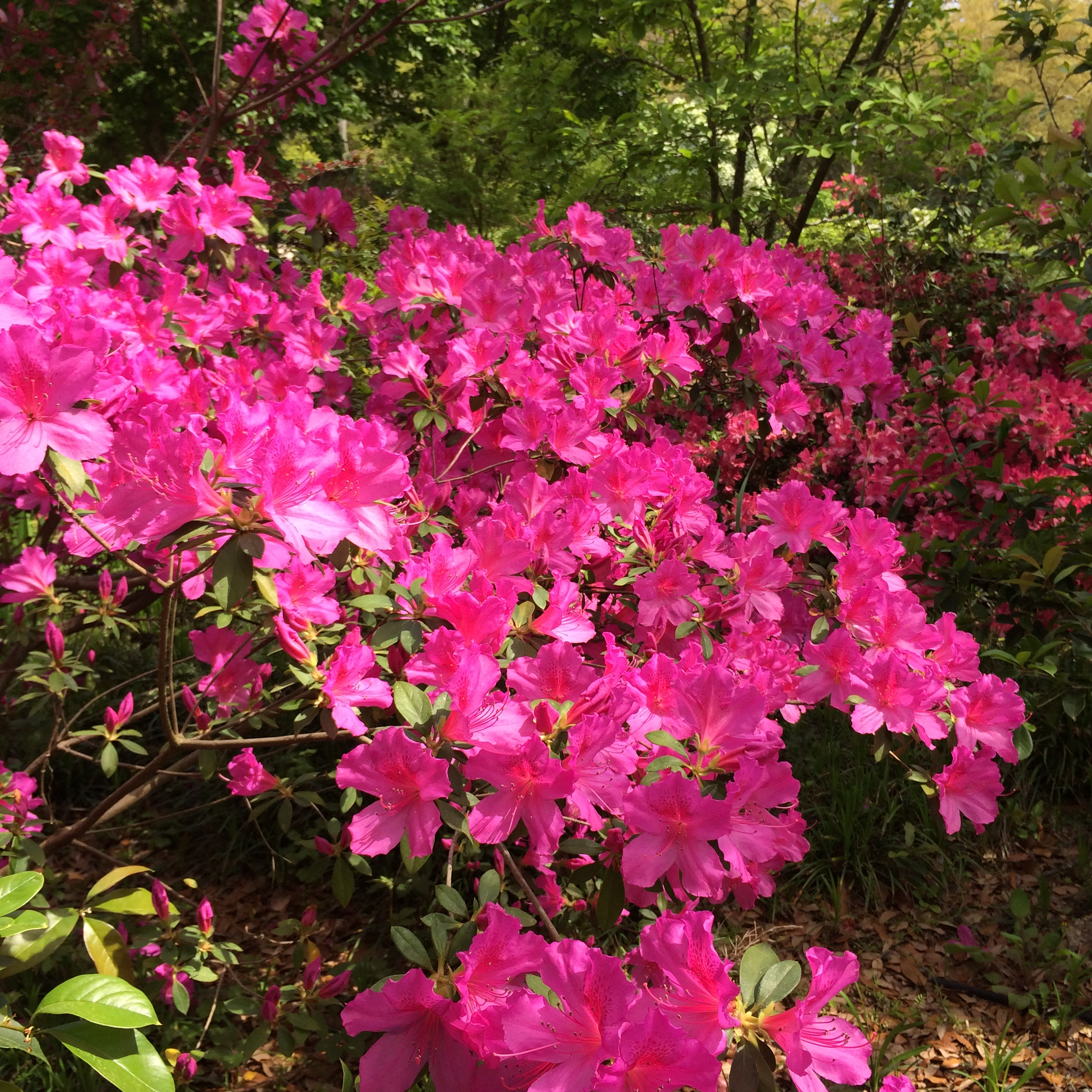 Azaleas in the Botanical Garden
