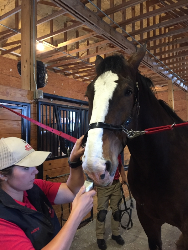 How Often Do The Budweiser Clydesdale Horses Shave New
