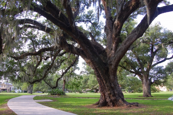 Allard Oak in New Orleans City Park