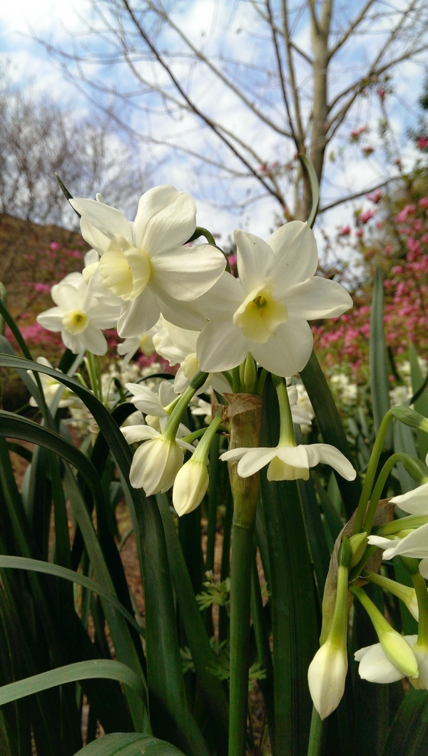 Daffodils in the Botanical Garden