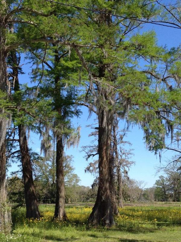 The beautiful bright green buds on the Louisiana Cypress trees!