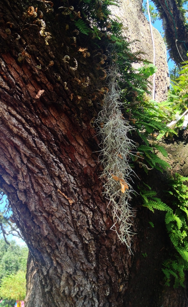 Spanish Moss and Resurrection Fern