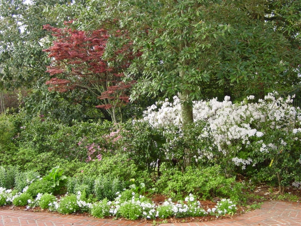 Azalea and Japanese Maple