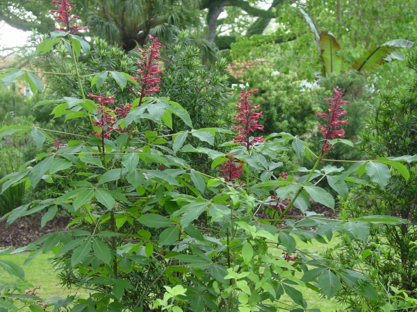 Red Buckeye, Aesculus pavia,  in the Butterfly Garden