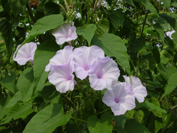 Bush Morning Glory, Ipomoea carnea
