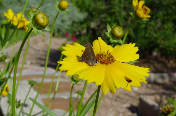 Grey Hairstreak in the Butterfly Garden