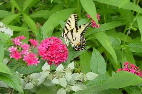 Pentas and Giant Swallowtail in the Butterfly Garden