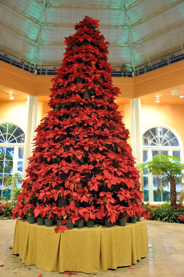 Large poinsettia tree in the Conservatory