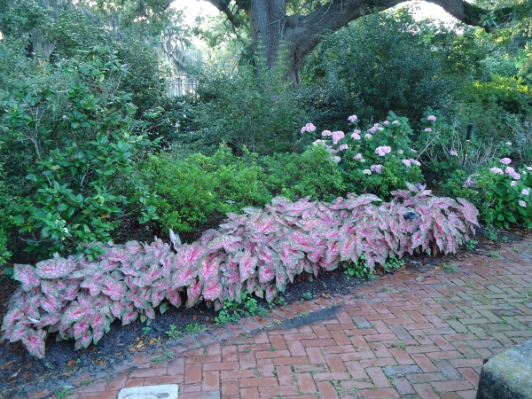 Carolyn Whorton Caladiums