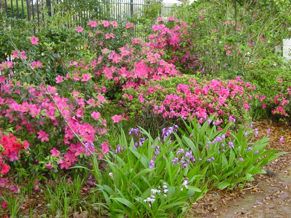 Chinese Ground Orchid and Azaleas