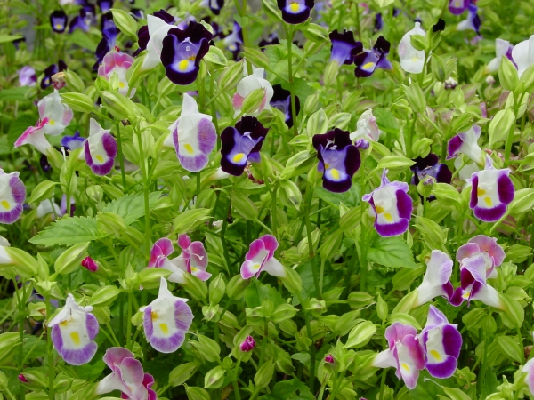 A color bed of Torenia mix