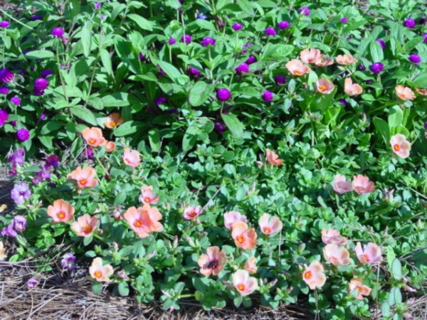 A color bed of Portulaca gomphrena