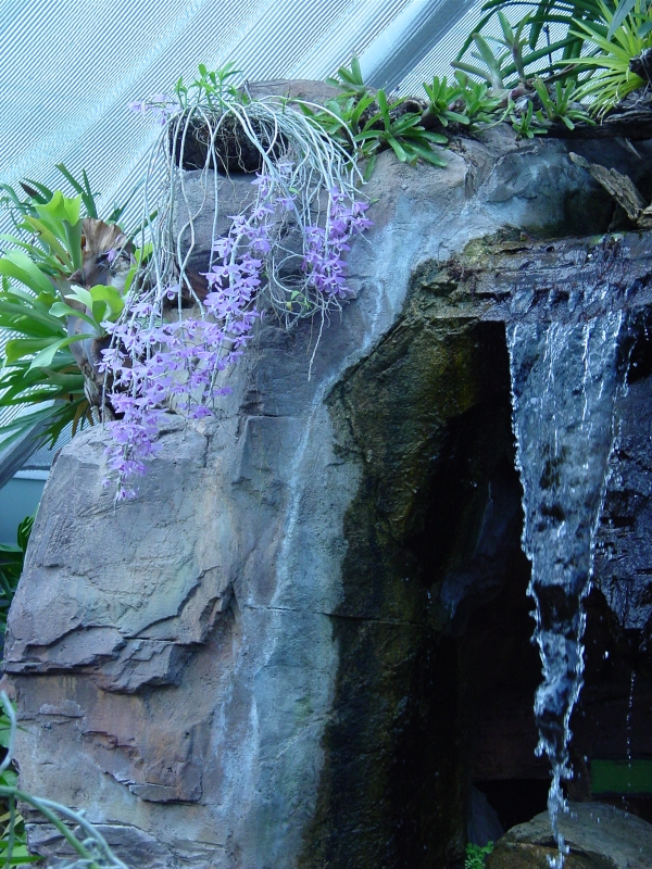 Dendrobium blooming over the waterfall in the Conservatory