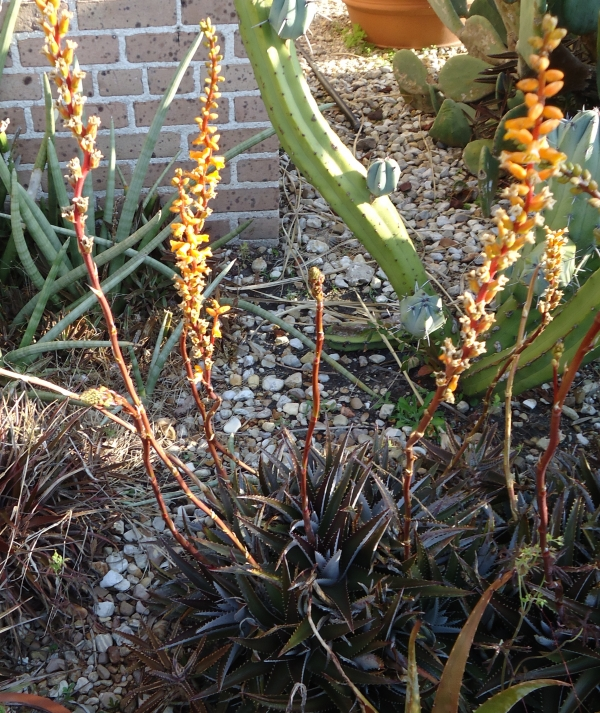 Dyckia in the Cactus and Succulent bed near the Stove House