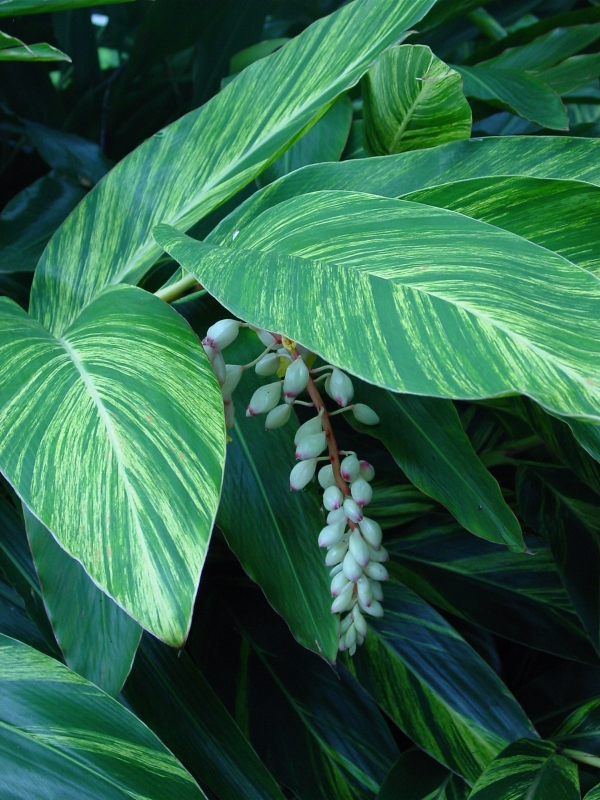 Shell ginger Alpinia zerumbet