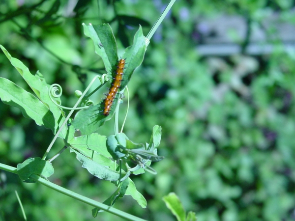 Gulf Fritillary caterpillar feeding on passion flower vine