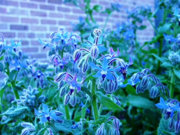 Borage in the Kitchen Garden