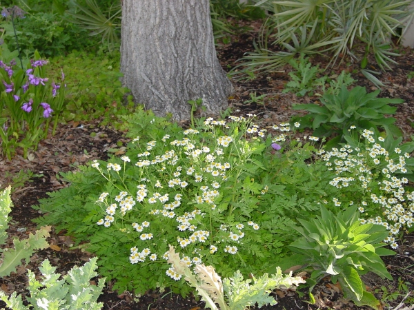Feverfew in the Medicinal Garden