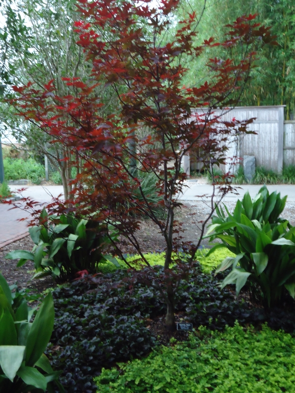 Japanese Maple Acer palmatum Emperor One