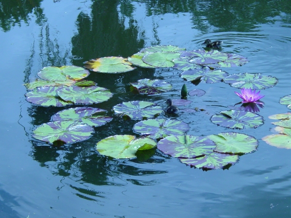 Lilies and ducklings in the Lily Pond