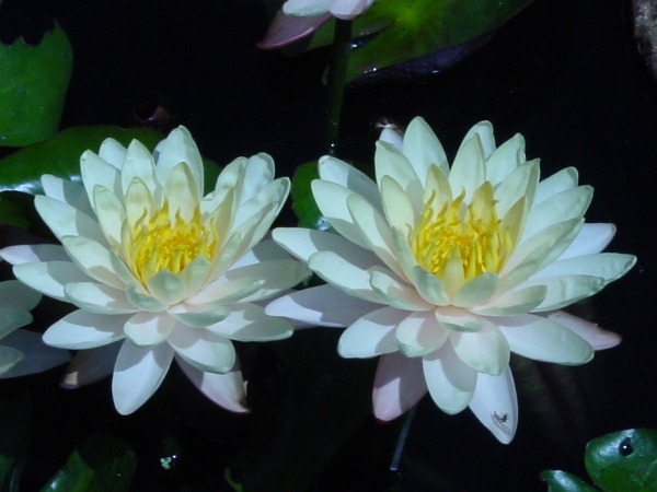 Lilies in the Lily Pond
