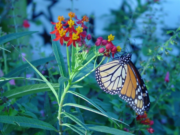 Monarch butterfly nectaring on a Milkweed bloom, Ascepias curassavica