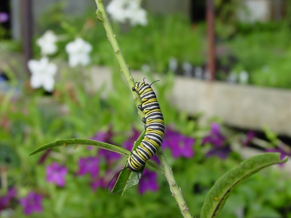 Monarch caterpillar feeding on milkweed bloom, Asclepias curassavica