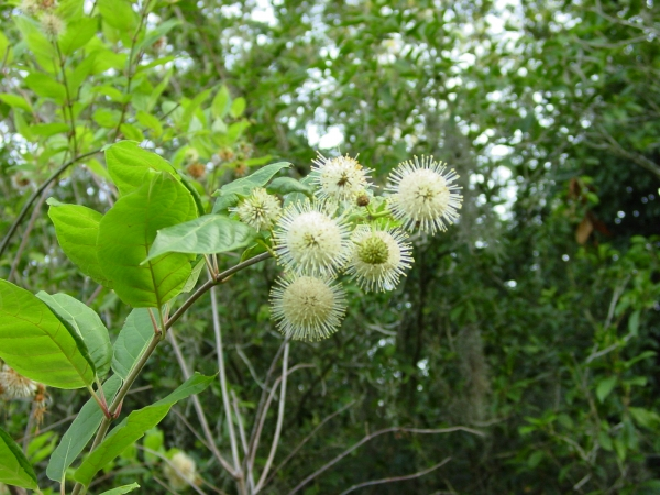 Button Bush Cephalanthus occidentalis in the Native Garden