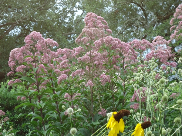 Jow Pye Weed Eutrochium purpureum in the Native Garden