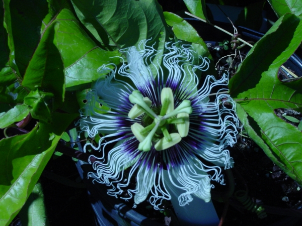 Passiflora edulis flavicarpa blooming in the PLANO Garden