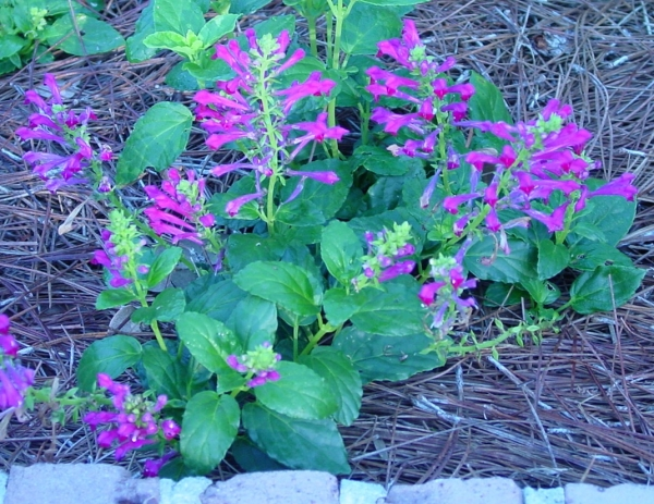 Perennial Scutellaria Purple Fountain
