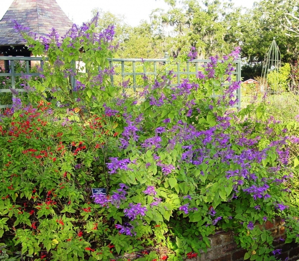 Salvia purpurea and Pineapple Sage