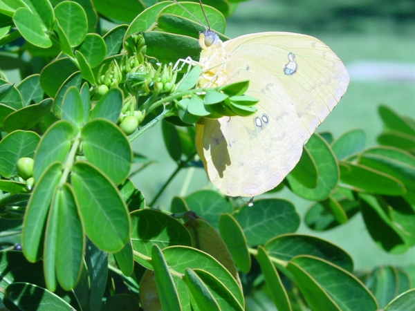 Sulfur butterfly laying eggs on Senna