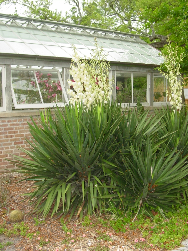 Yucca flowers near the Stove House