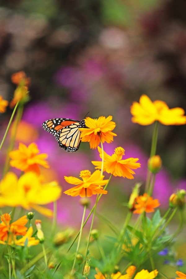 Our wild flower fields are a hit with people, butterflies, and bees.
