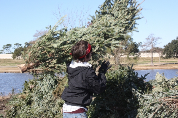 A volunteer helping to place recycled Christmas trees in a Park lagoon