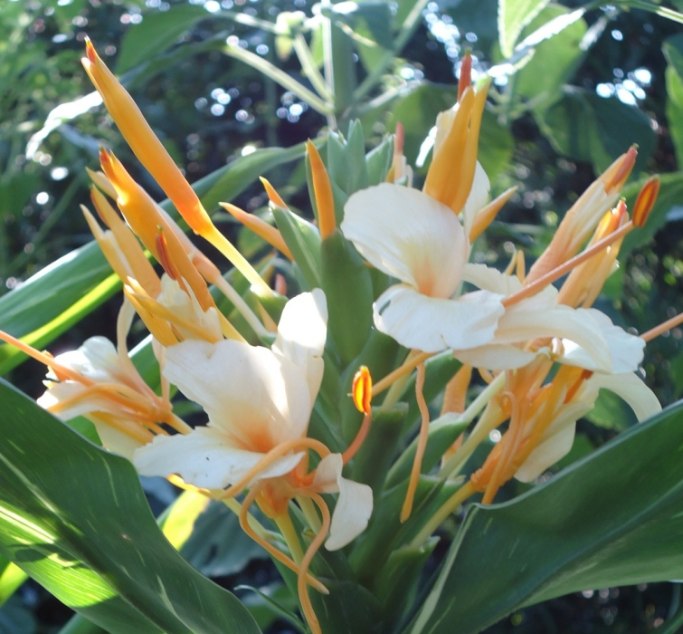 Butterfly Ginger Hedychium in the Tropical Garden