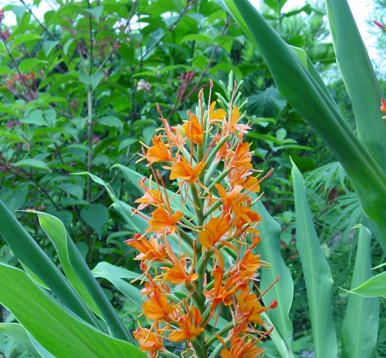 Ginger Tropical Hedychium Auranticum in the Tropical Garden