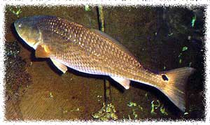 *Red Drum (Redfish) - Sciaenops ocellatus